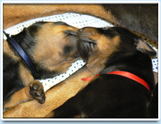 Image: Picture of two puppies from the Raisin litter (2007).